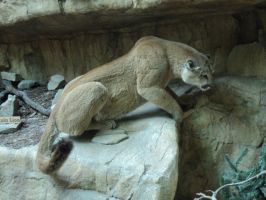 Crouched Cougar 3 by IntriguingBeast