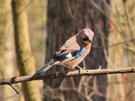 Jay III by starykocur