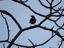 Thrush In A Tree by wolfwings1