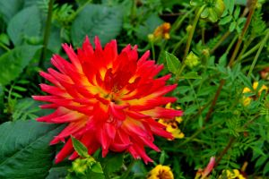 Dahlia by lawout16