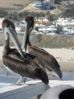 Captains:Pelicans by dollyderanged