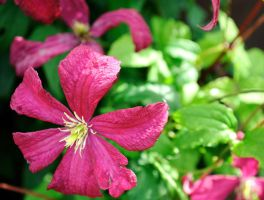 Clematis by clarearies13
