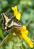 Tiger Swallowtail Butterfly by Son-of-Italy