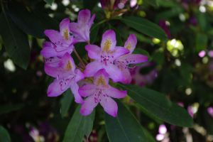 rhododendron by NikitaLaChance