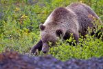 Grizzly Bear 2 by juniberries