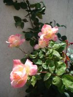 White and Pink Roses by EmmaL27