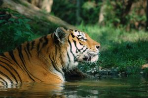 Siberian Tiger 3 by grugster