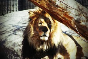 Lion by Thunderbolt-Designs