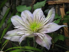Lavender Clematis by Abbyanna