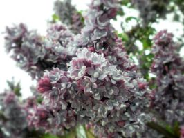 Lilacs 1 by fosspathei