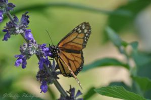 Texas Viceroy by jdchaffee