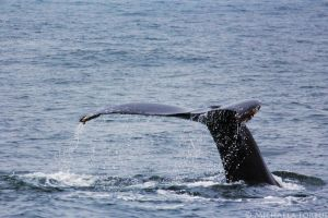 Humpback Whale by michaelaforbus