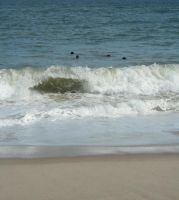 Seals at Newcomb Hollow by RachelDS