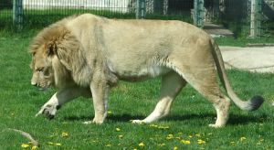 Male Lion by FantasyStock