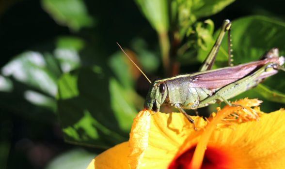 Grasshopper Munching down on a Hibiscus Bloom by winterface