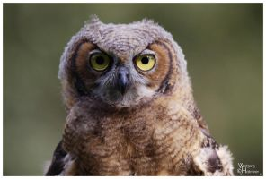 Great Horned Owl 01 by W0LLE