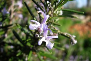 Rosemary Flowers by dracontes