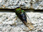 Cicada by Voice0fReason