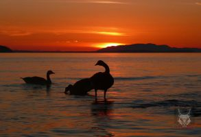 Geese At Sunset by wolfwings1