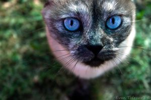 Blue Eyed Cat by EvanXethTideswell
