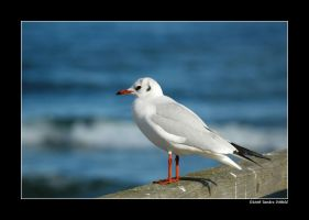 Black-headed Gull 2 by grugster