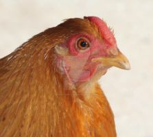Ginger - Bantam Wyandotte Hen by mintymintymid