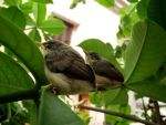 baby birds by windpacer04