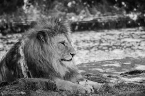 Lion, Pilsen I by FGW-Photography