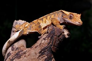 Crested Gecko 5 by SnowPoring