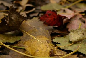 Fall Colors on the Ground by nwalter