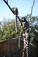Tres Lemurs by hope-on-fire