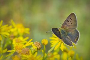 Butterfly (Lycaena tityrus) by MtKrol