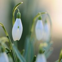 cheer up little snowdrop by MorkOrk