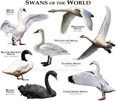 Swans of the World by rogerdhall