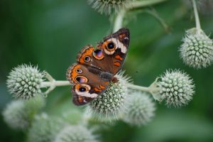Painted Lady by GramMoo