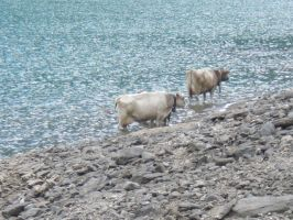 Cows at the lake by Alcyone07