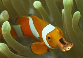 Clownfish Hippo by Eng360