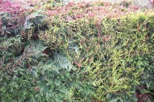 Colourful Hedge by bisi