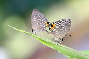 Mating Butterflies by melvynyeo