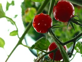 Cherry Tomatoes by Accyber