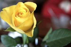Yellow rose by HradelaPhoto