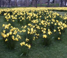 Daffodils - Heralds of Spring by Suilenroc