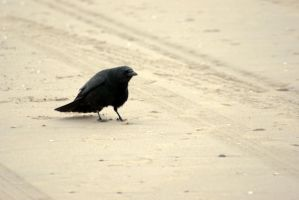 Crow on the beach by steppelandstock