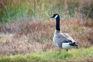 Canada Goose by DeniseSoden