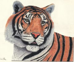 I am a Tiger by CamWaters