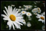 More Daisyflower by trevg