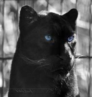 Black and Blue by Wild-Soul