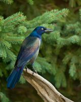 Common Grackle by Les-Piccolo