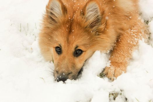 Little pup in the snow by CrazyPeopleFan