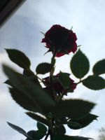 Rose Plant2 by evilminky666